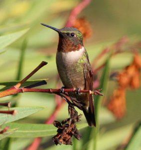Ruby-throated Hummingbird - Photo Tom Benson