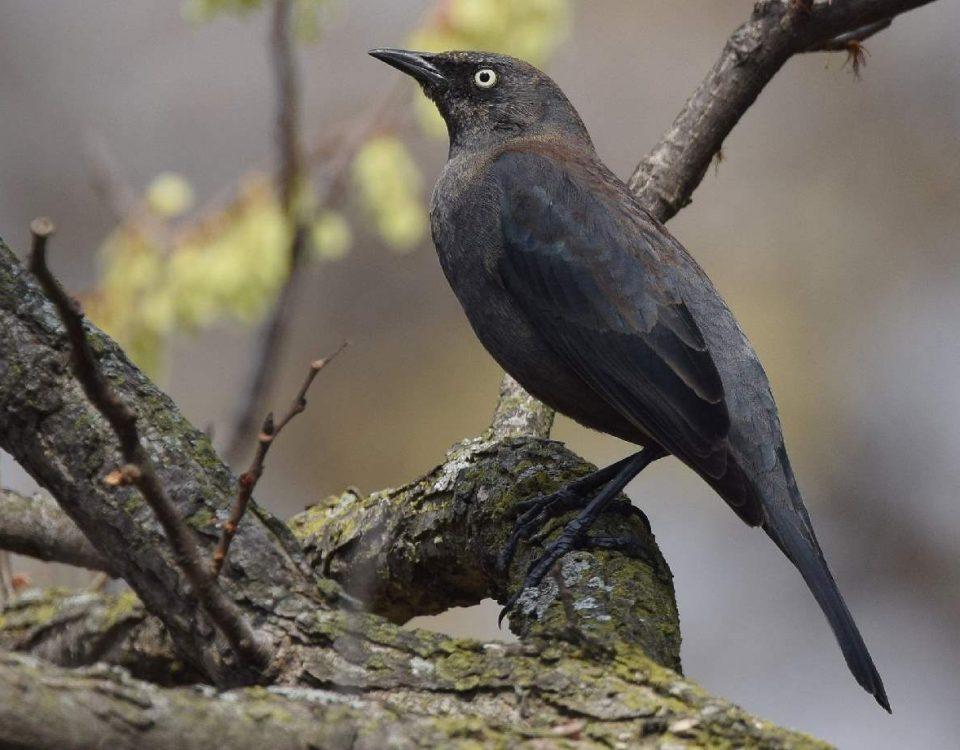 Rusty Blackbird - Photo Andy Reago / Chrissy McClarren