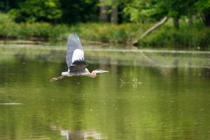 Great Blue Heron - Photo Peter Emmett