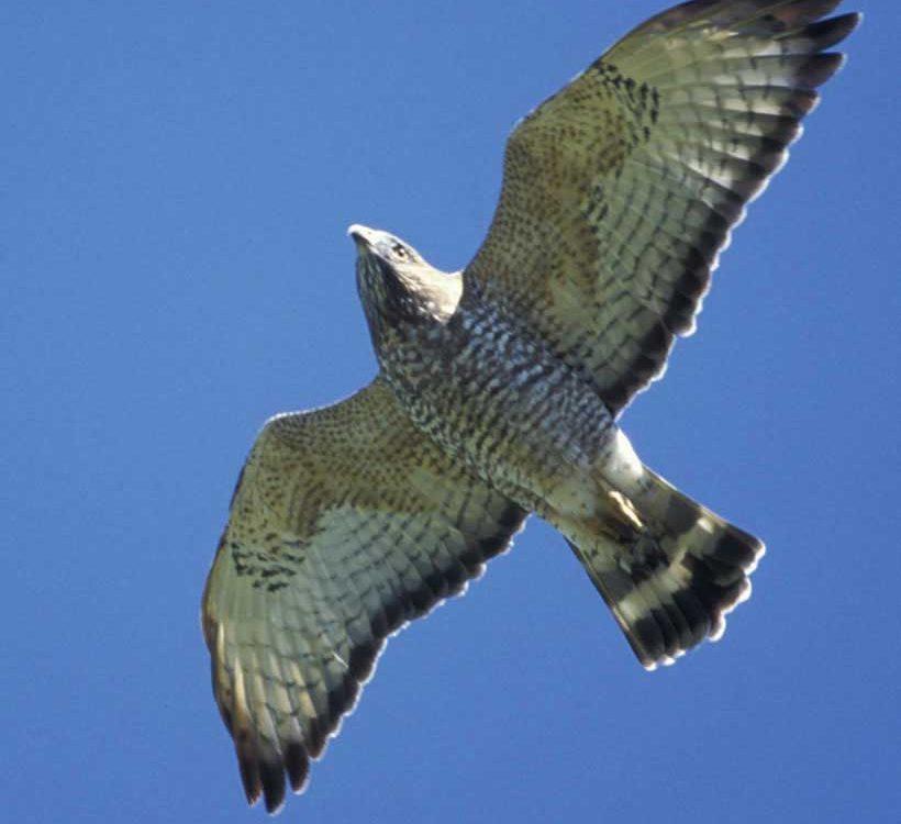 Broad-winged Hawk - Photo Brian Wheeler