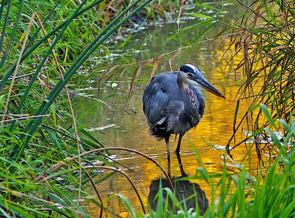 Great Blue Heron at Pickerington Ponds - Photo D Ferrin