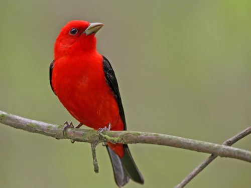 Scarlet Tanager - Photo Earl Harrison