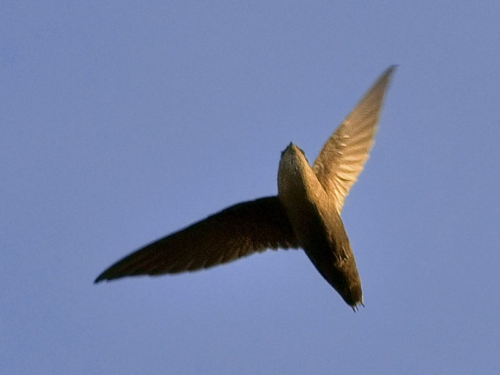 Chimney Swift Overhead - Photo Jim Mcculloch