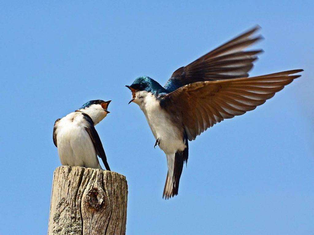 Tree Swallows - Photo Rodney Campbell