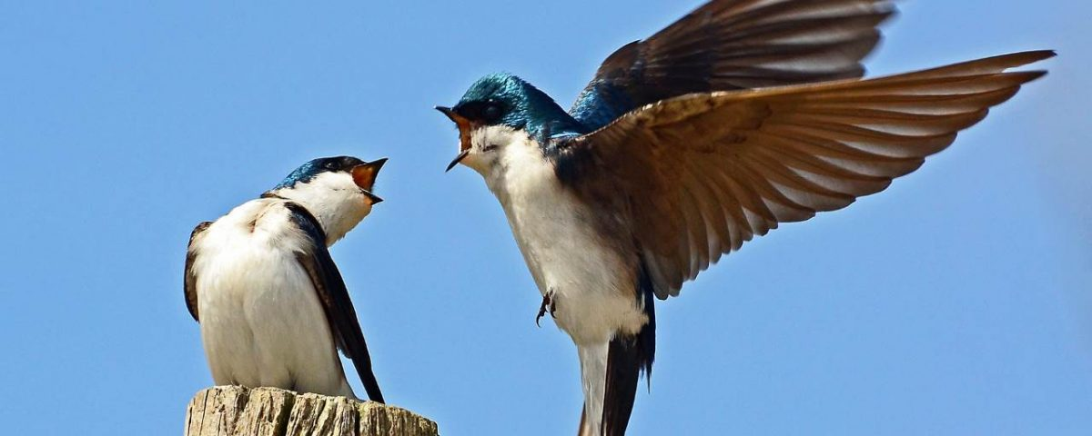 Tree Swallows - Photo Rodney Campbell