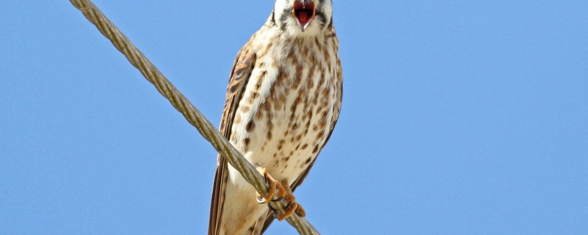 American Kestrel - Photo Earl Harrison
