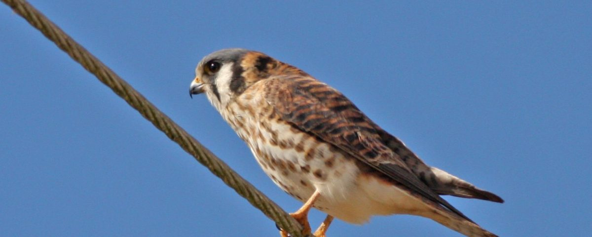 American Kestrel on Wire - Photo Earl Harrison