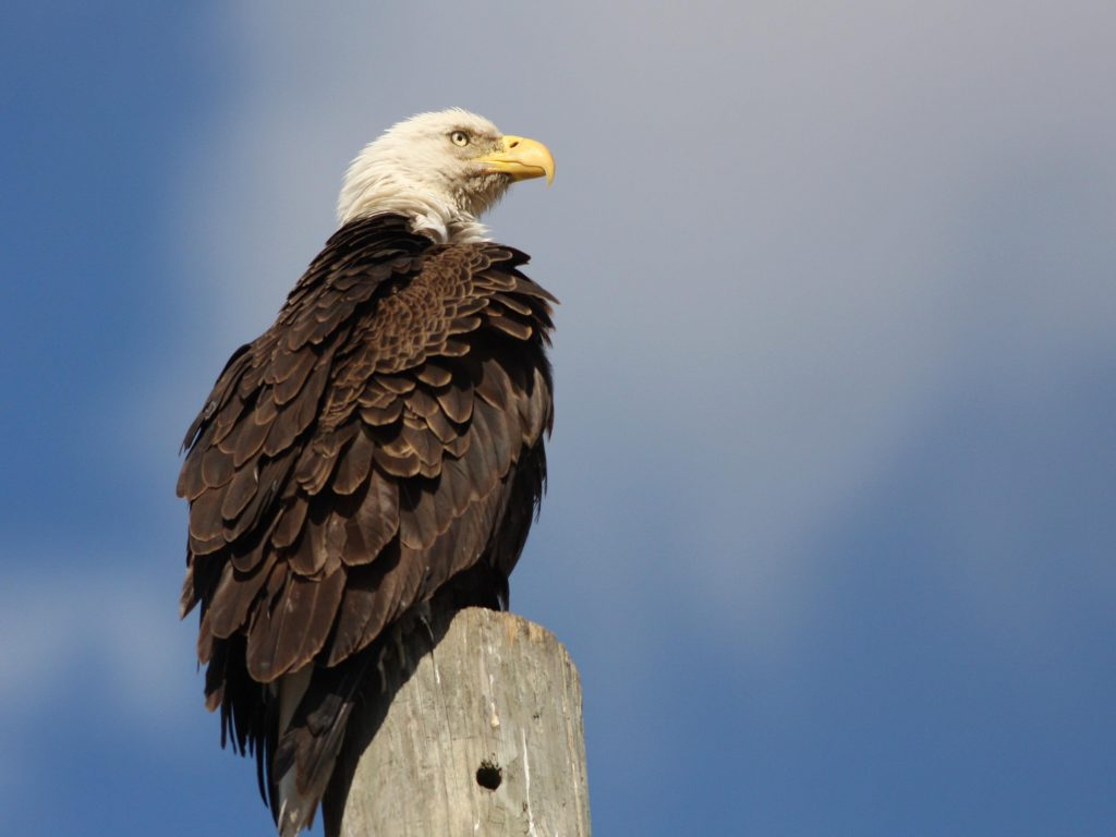 Bald Eagle - Photo Earl Harrison