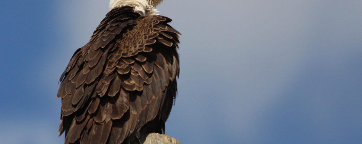 Bald Eagle - Photo Earl Harrison