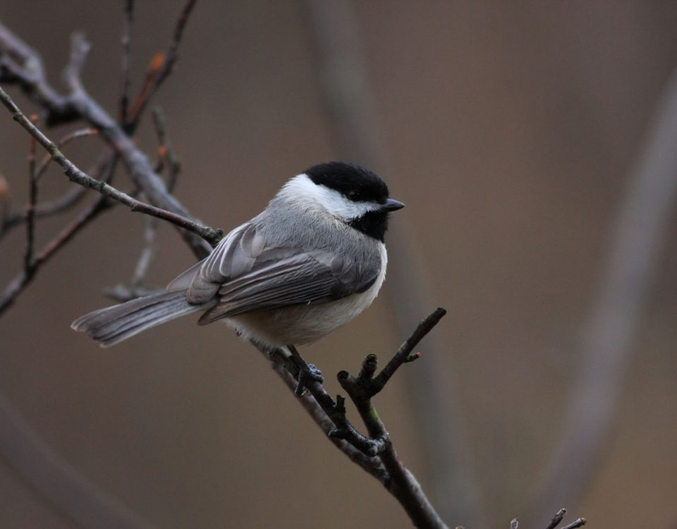 Carolina Chickadee - Photo Earl Harrison
