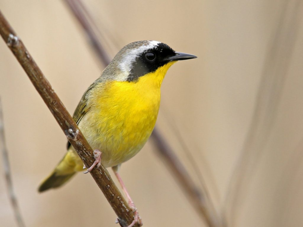 Common Yellowthroat - Photo Earl Harrison