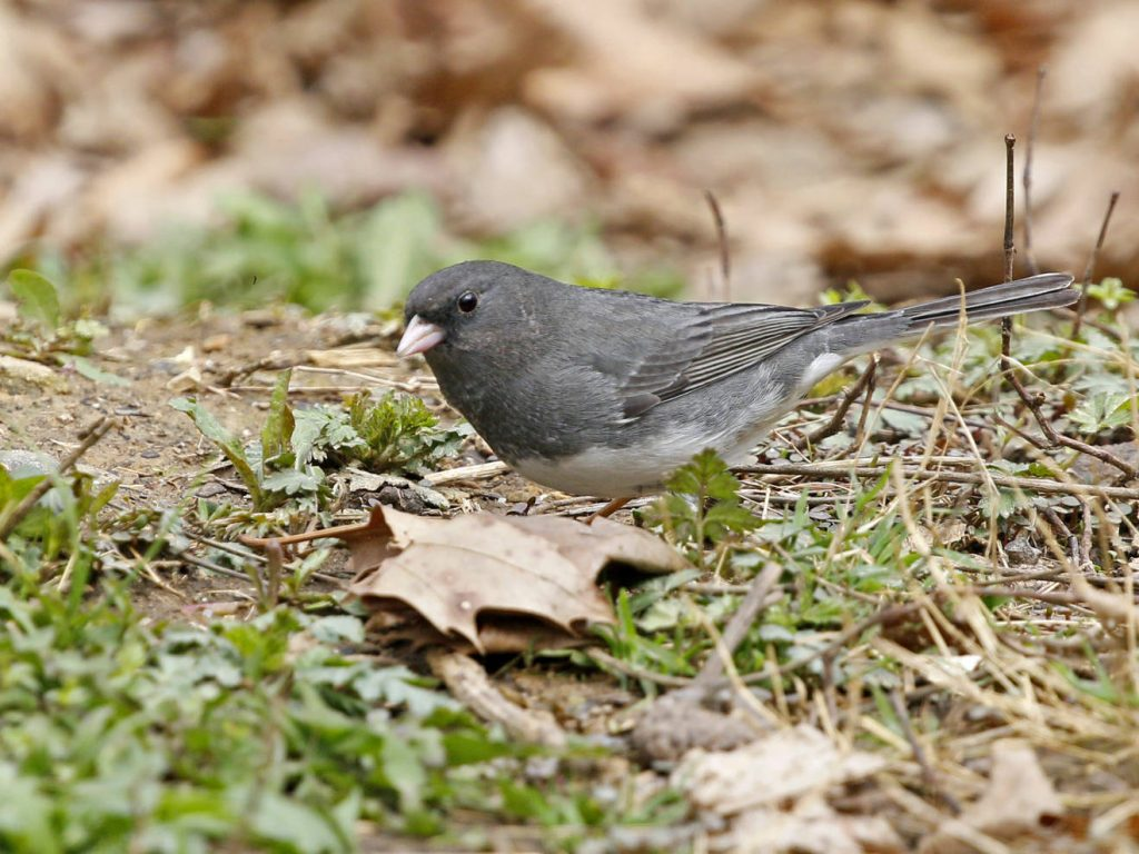 Dark-eyed Junco - Photo Earl Harrison