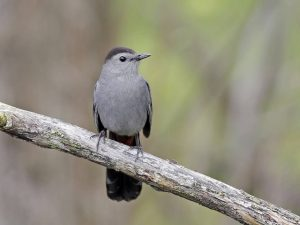 Gray Catbird - Photo Earl Harrison