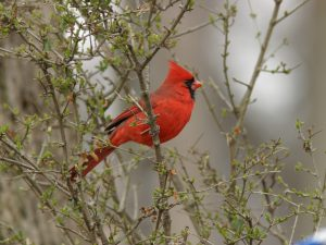 Northern Cardinal - Photo Earl Harrison