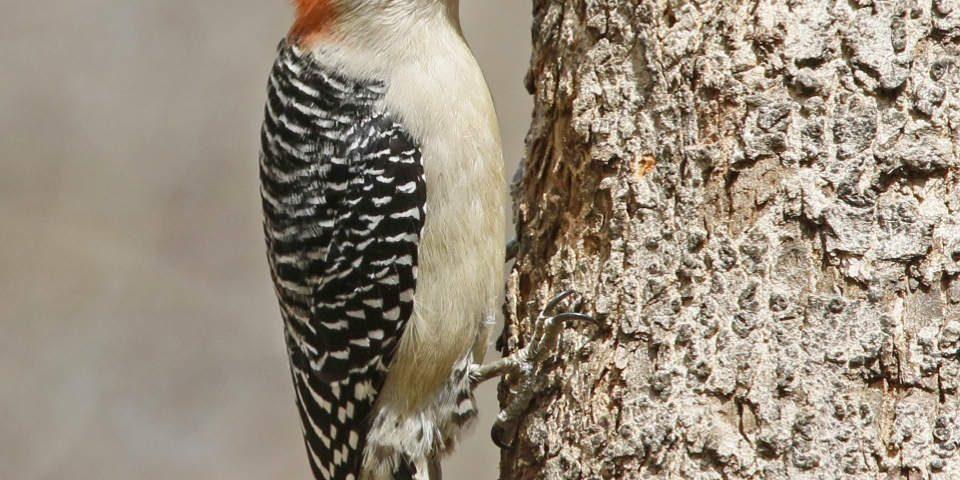 Red-bellied Woodpecker - Earl Harrison