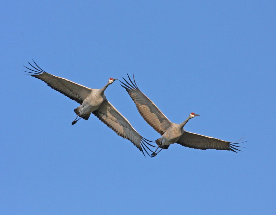 Sandhill Cranes in Flight - Photo Earl Harrison