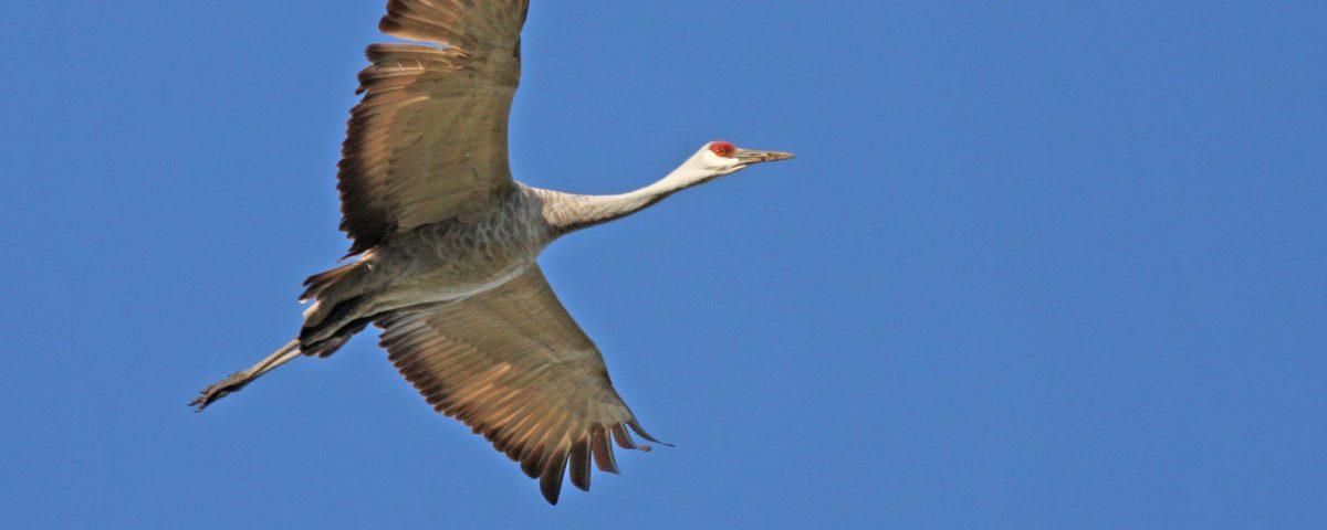 Sandhill Crane Soaring - Photo Earl Harrison