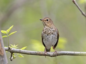Swainsons Thrush - Photo Earl Harrison