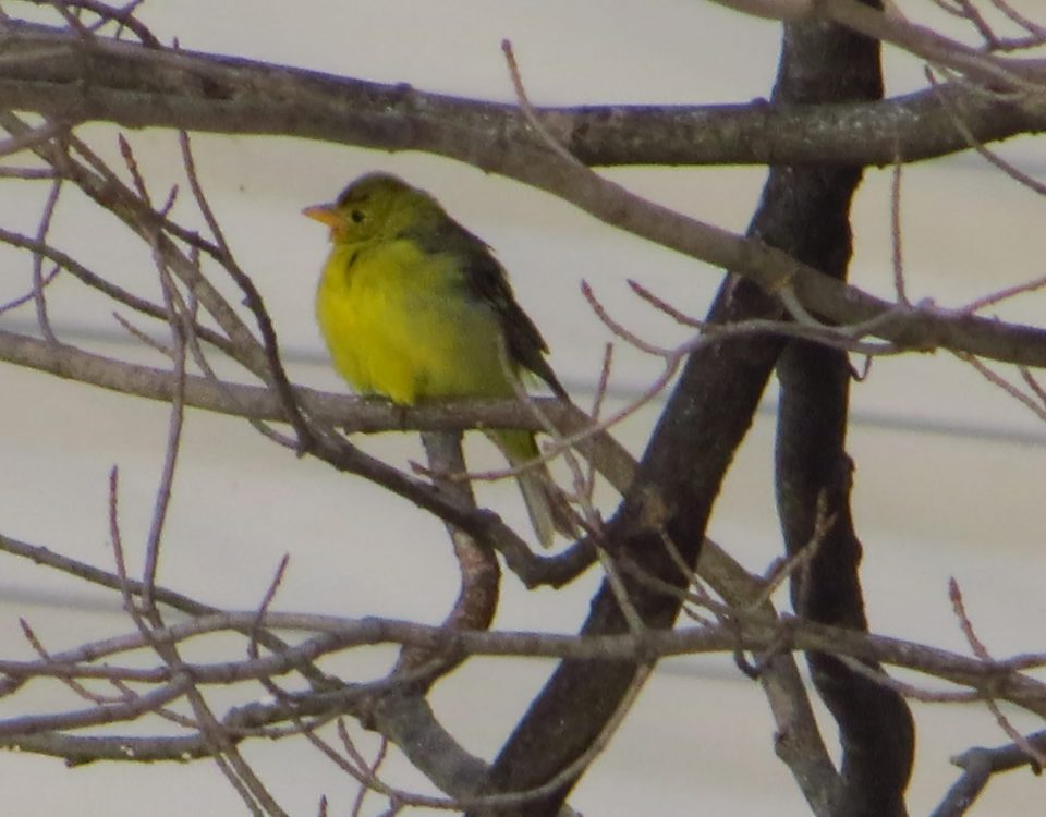 Western Tanager (female or immature male) - Photo Lisa Phelps
