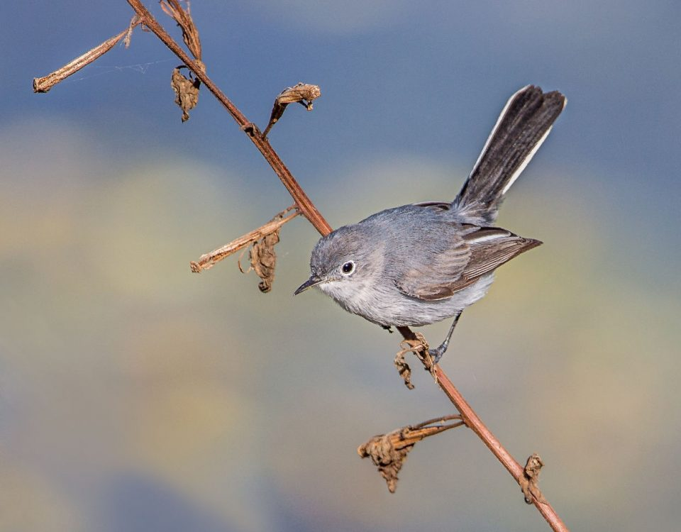 Blue-gray Gnatcatcher - Photo Andy Morffew