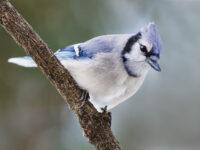 Blue Jay - Photo Shenandoah NP