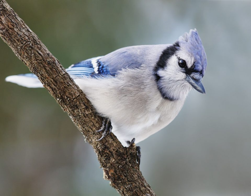 Blue Jay - Photo Shenandoah NP