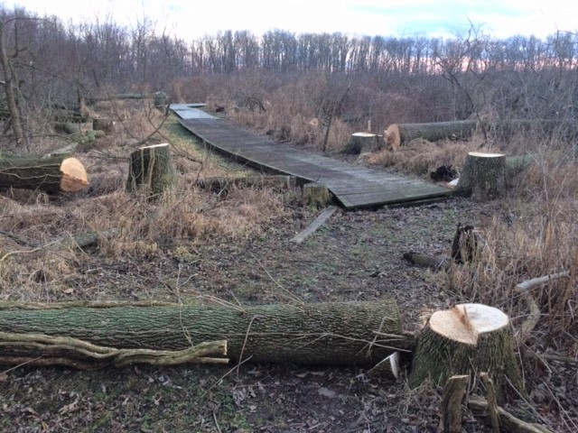 Calamus Tree Cutting