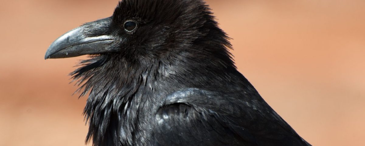 Common Raven - Photo Caayonlands NPS