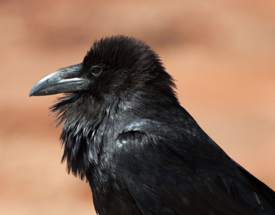Common Raven - Photo Caayonlands NPS