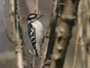 Downy Woodpecker - Photo Earl Harrison