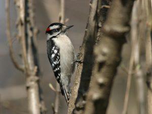 Downy Woodpecker - Photo Earl Harrison