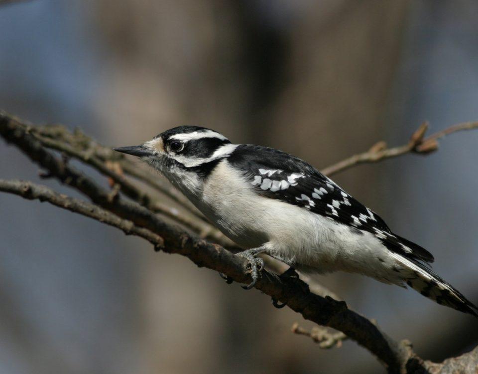 Downy Woodpecker (female) - Photo Earl Harrison