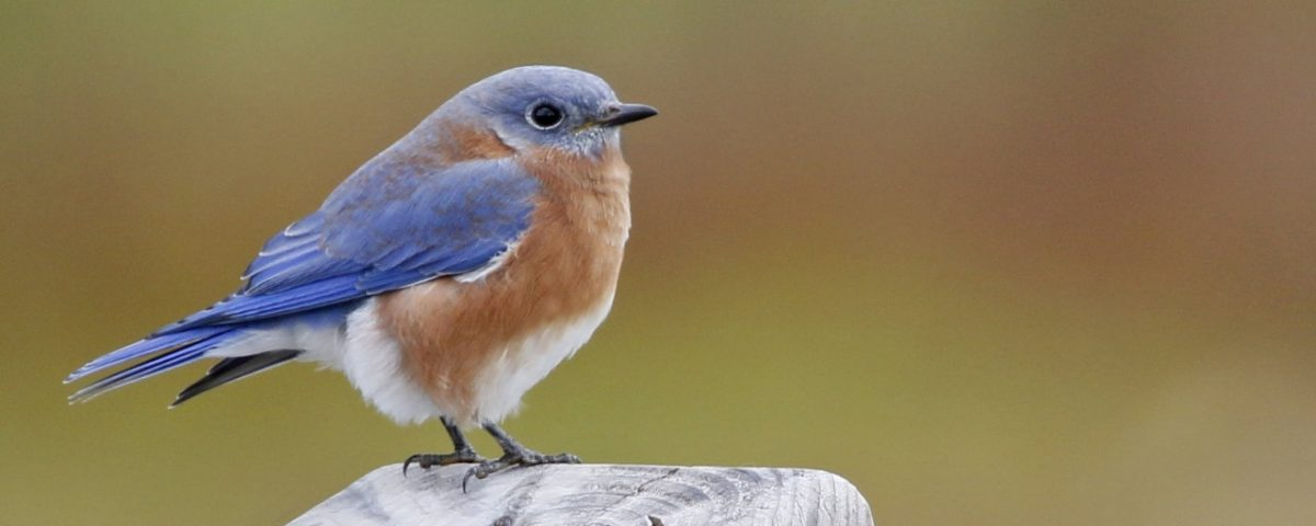 Eastern Bluebird - Photo Earl Harrison