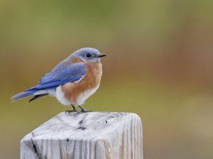 Eastern Bluebird - Photo Earl Harrison