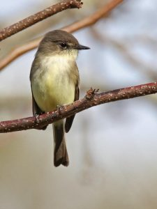 Eastern Phoebe (vertical) - Photo Earl Harrison