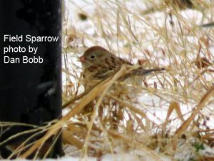 Field Sparrow on the Delaware CBC - Photo Dan Bobb