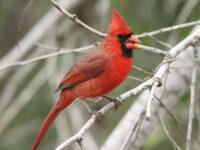 Northern Cardinal - Photo Alan Schmierer