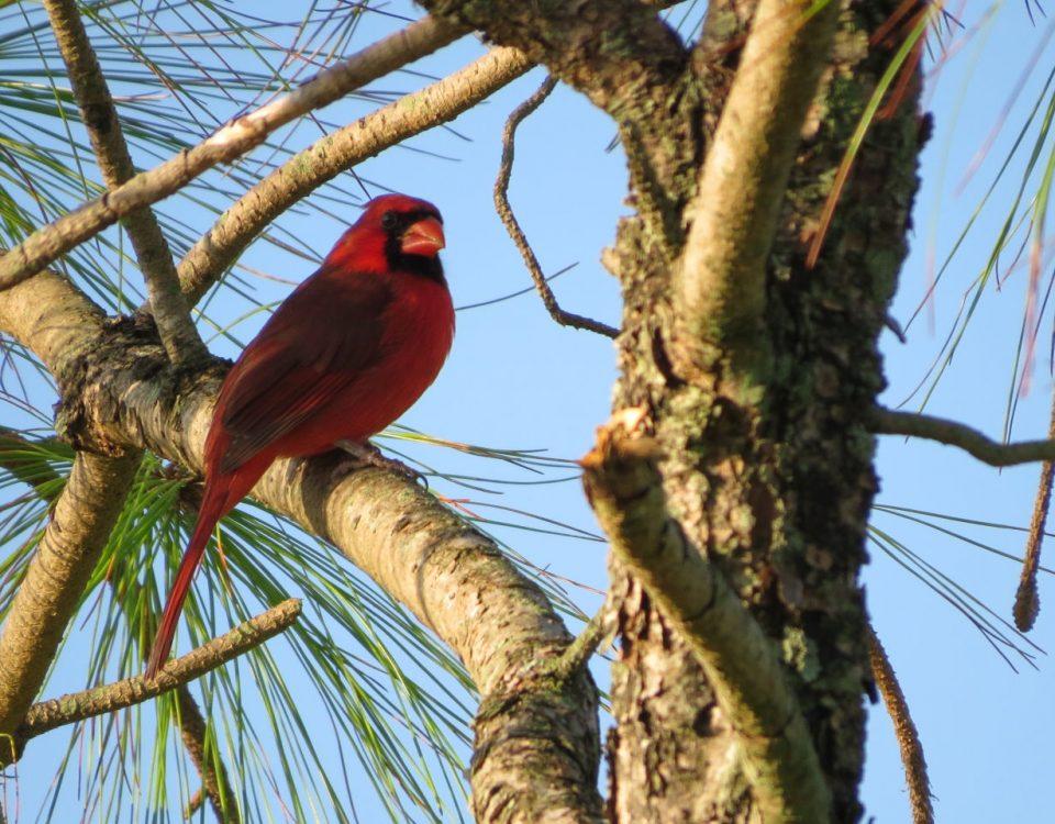 Northern Cardinal - Photo Susan Young