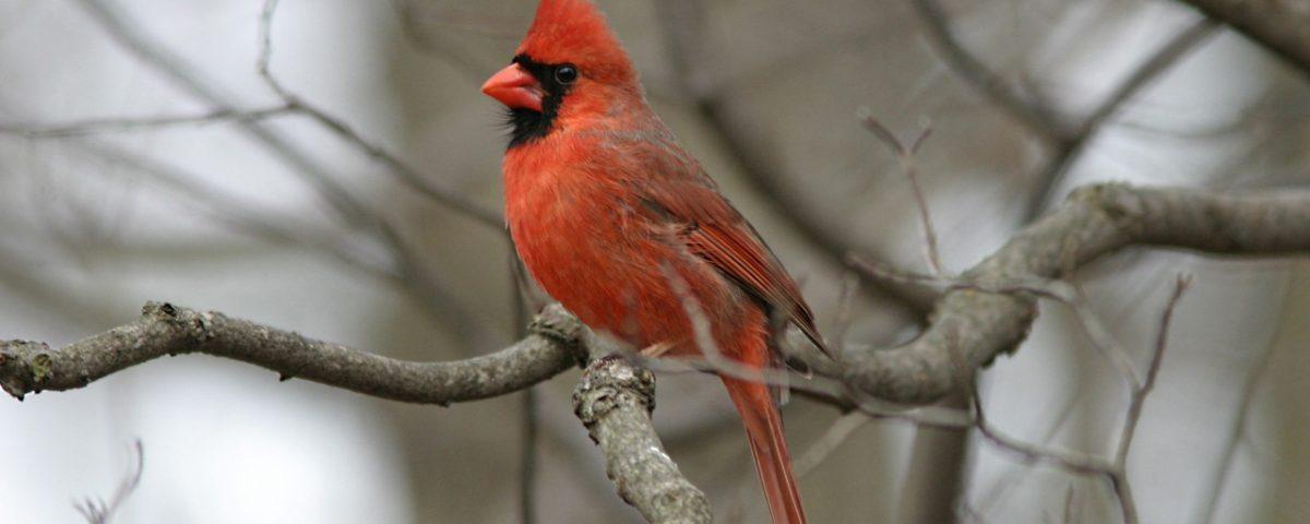 Northern Cardinal - Photo Earl Harrison