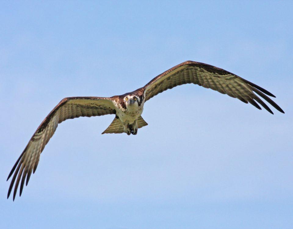Osprey Head On - Photo Earl Harrison