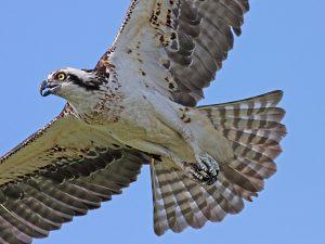 Osprey on the Wing - Photo Earl Harrison