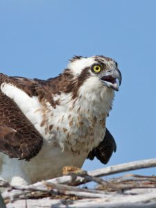 Osprey on Nest - Photo Earl Harrison