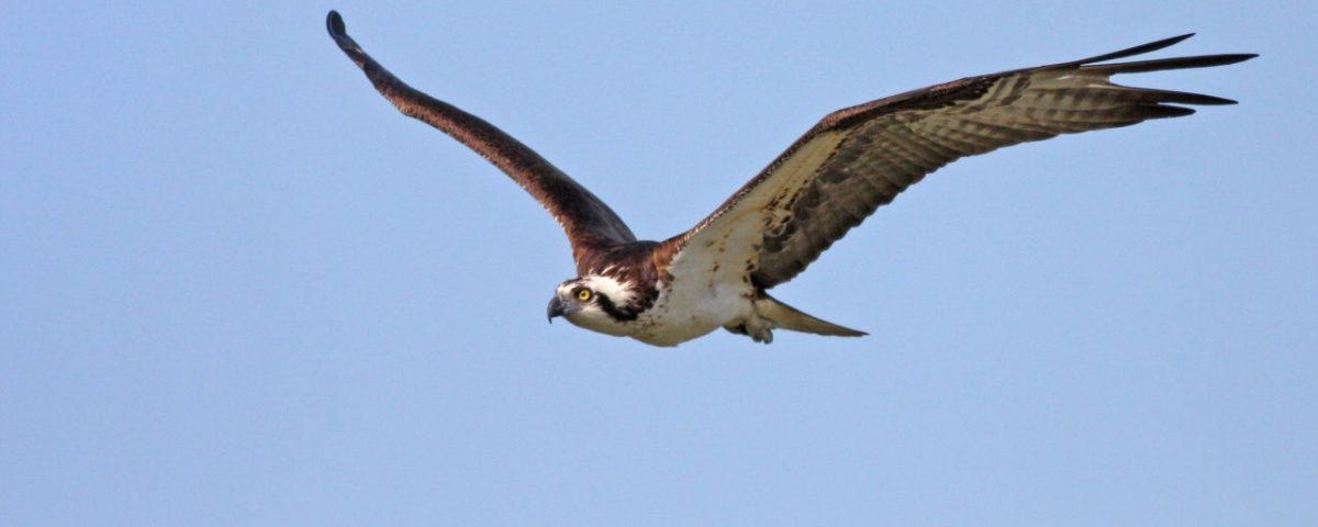 Osprey Soaring - Photo Earl Harrison