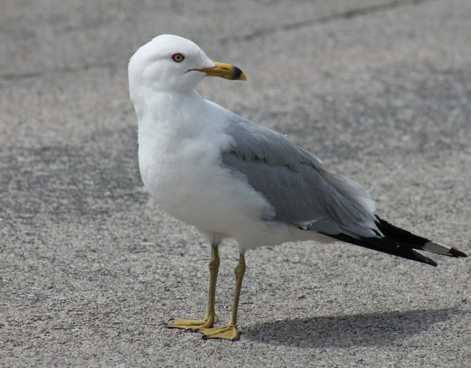 Ring-billed Gull - Photo USFWS