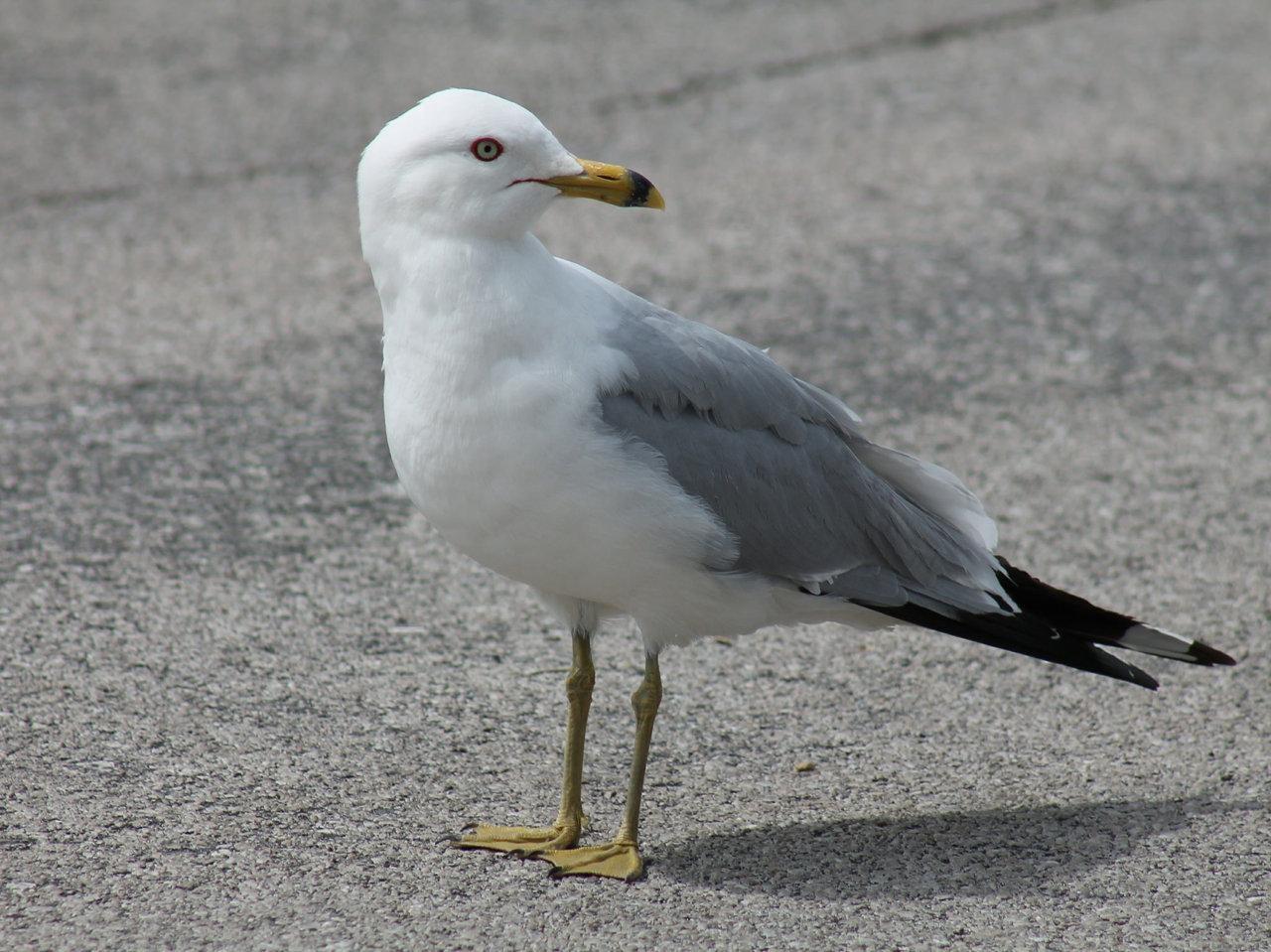 Ring-billed Gull - Photo USFWS