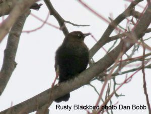 Rusty Blackbird on the Delaware CBC - Photo Dan Bobb