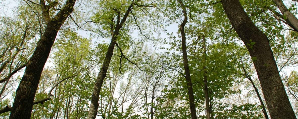 EcoWeekend: Tree Canopy with Sky