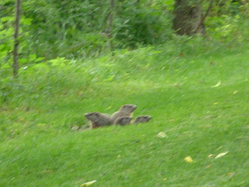 Calamus Swamp Woodchucks