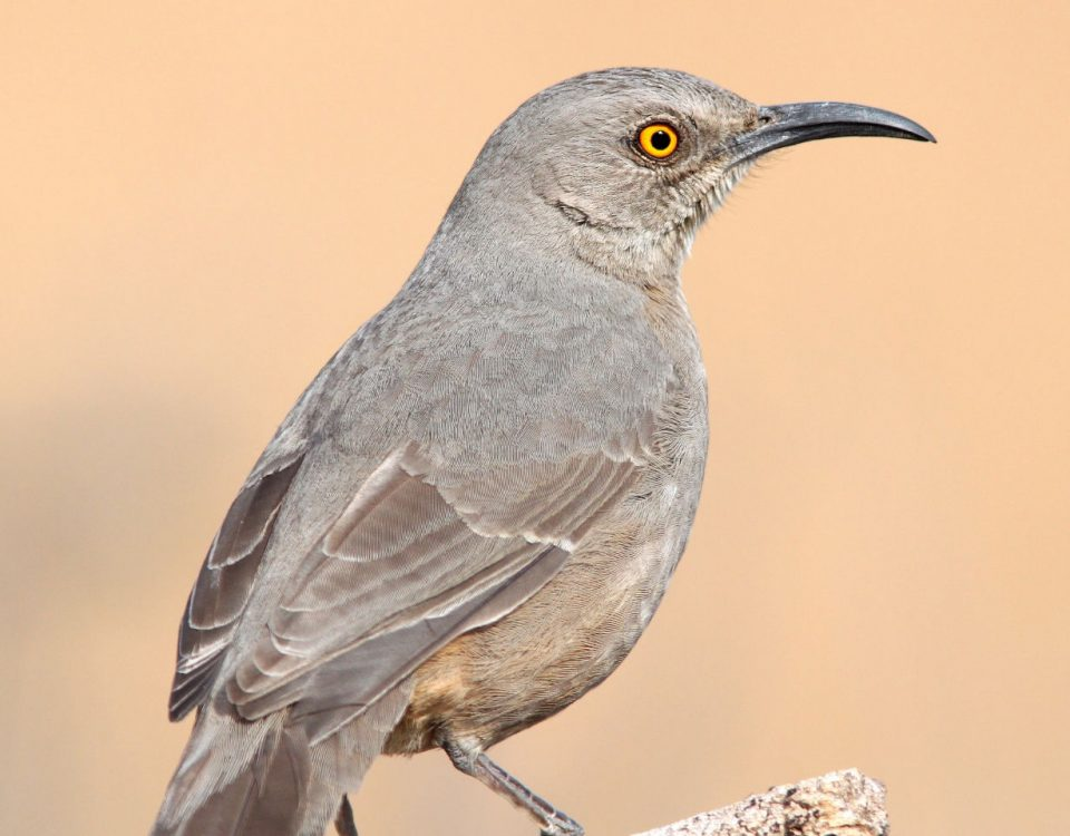 Curve-billed Thrasher - Photo Alan Schmierer