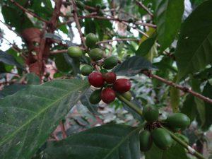 Shade Grown Coffee Beans